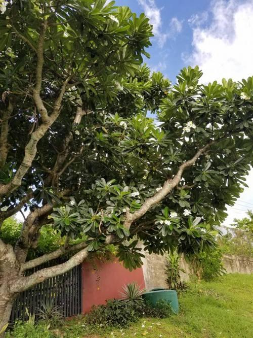 Tree Fiji